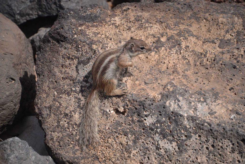 Fuerteventura - wiewiórka ziemna z Maroka