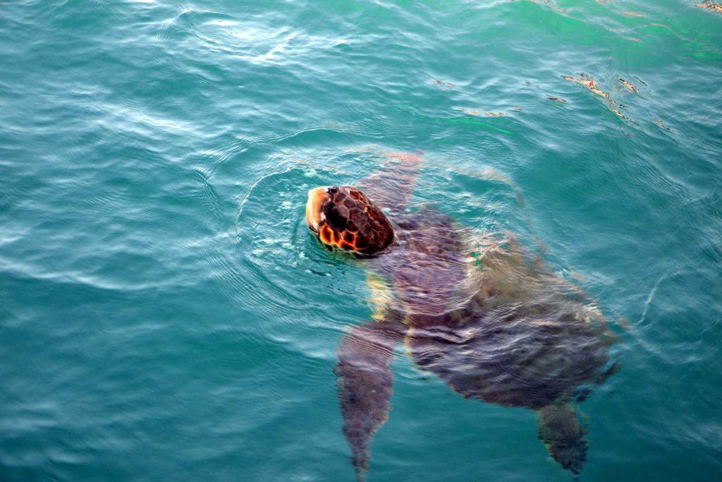 Zakynthos - żółw caretta caretta